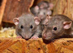 loft and attic rats
