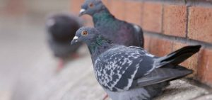 pigeon bird control birmingham