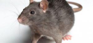 rat control Birmingham West Midlands
