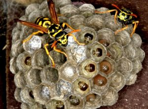 wasp control birmingham-pests